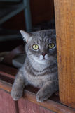 Cat. Pursia cat looking at something Royalty Free Stock Photos