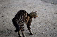 Cat. Puss pussycat fright tousle Hisses pet stock photography