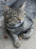 Cat. With closed eyes royalty free stock photography