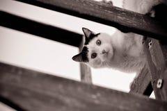 CAT QUE OLHA PARA BAIXO EM PRETO E BRANCO Fotografia de Stock Royalty Free