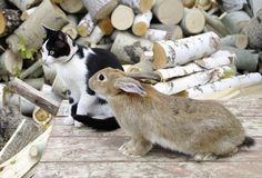 Cat and rabbit. Rabbit keeps company with cat Royalty Free Stock Photography