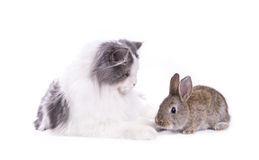 Cat and rabbit. Isolated on white background Stock Images