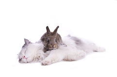 Cat and rabbit. Isolated on white background Royalty Free Stock Image