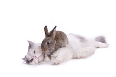 Cat and rabbit. Isolated on white background Royalty Free Stock Photography