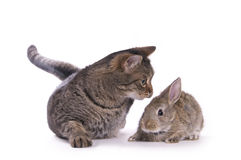 Cat and rabbit Stock Images