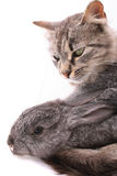 Cat and rabbit Stock Photography