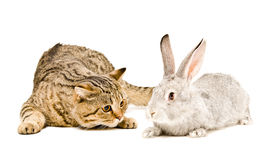 Cat and rabbit. Scottish Straight cat and rabbit together isolated on white background Royalty Free Stock Photo