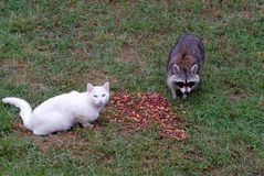 Cat and Raccoon Royalty Free Stock Photos
