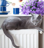 Cat on Radiator. Russian Blue Cat relaxing on radiator under window Stock Photography