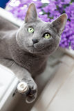 Cat on Radiator. Russian Blue Cat relaxing on radiator under window Stock Images