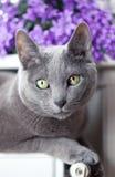 Cat on Radiator. Russian Blue Cat relaxing on radiator under window Royalty Free Stock Photos