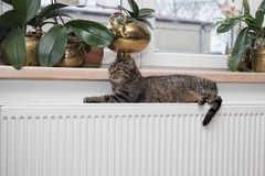 Cat on the radiator, warm, Tabby cat lying a warm radiator. A tiger tabby cat relaxing on a warm radiator, Tabby cat lying a warm radiator, cat lies on the royalty free stock images