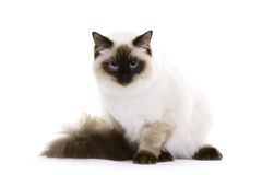 Cat, Ragdoll. Ragdoll cat with blue eyes royalty free stock photo