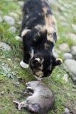 Cat with a rat Stock Photos