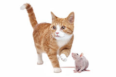 Cat and Rat. A red Kitten and a naked rat in front of a white background Royalty Free Stock Photography