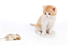 Cat and rat Stock Photography