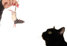 Cat and rat Stock Image