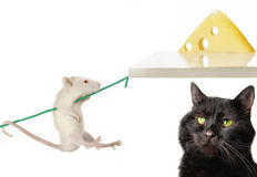 Cat and rat Royalty Free Stock Image