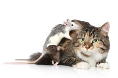 Cat and rats resting Stock Photography