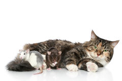 Cat and rats on a white background Stock Image