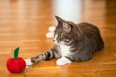 Cat reaching towards toy apple Royalty Free Stock Images