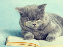 Cat reader. A blue british cat is wearing glasses lying on the book Royalty Free Stock Images