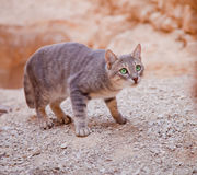 Cat ready to catch. A wild cat getting ready to catch a bird Royalty Free Stock Photography