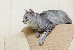 Cat ready to jump, cat at home with space for advertising and text Royalty Free Stock Photo