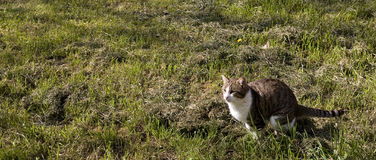 Cat ready to jump in the ground. Horizontal format Royalty Free Stock Photos