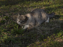 Cat ready to take the prey Royalty Free Stock Photography