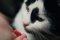The cat receives a dose of medicine from the veterinarian. Red-haired cute clever cat is treated with pills after the stock photo