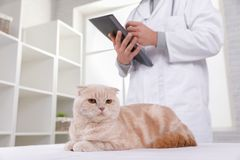 Cat at the reception at the vet royalty free stock image