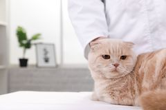 Cat at the reception at the vet stock image