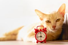 Cat and red alarm clock. royalty free stock photos