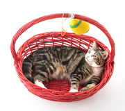 cat in red basket Royalty Free Stock Photos