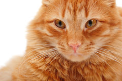 Cat red big closeup Royalty Free Stock Photos