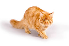 Cat1 Royalty Free Stock Photography