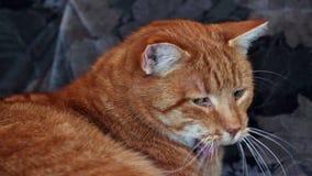 Cat stock video