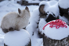 cat with red christmas beads on snow background Stock Image