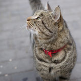 Cat with red collar Royalty Free Stock Photography