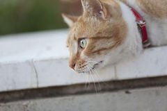 Cat with red collar is thinking Royalty Free Stock Photos