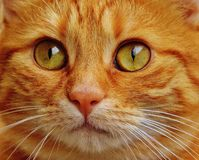 Cat, Red, Cute, Mackerel, Tiger Stock Image
