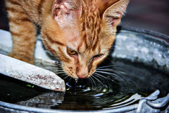 Cat. Red cat drinking water from a bucket stock images