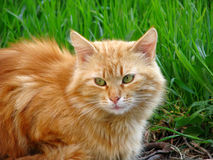 Cat with red fur Stock Photos
