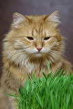 Cat. Red cat with green grass stock photo