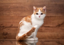 Cat. Red highland kitten on mirror and wooden texture Stock Photo