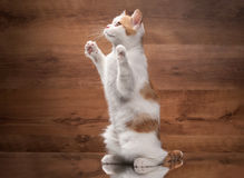 Cat. Red highland kitten on mirror and wooden texture Royalty Free Stock Images