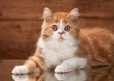 Cat. Red highland kitten on mirror and wooden texture Stock Images