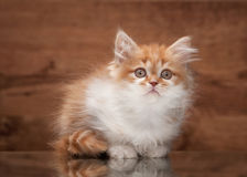 Cat. Red highland kitten on mirror and wooden texture Royalty Free Stock Photography