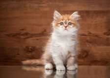 Cat. Red highland kitten on mirror and wooden texture Royalty Free Stock Image